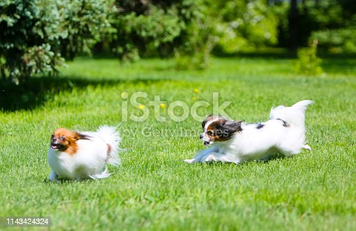 Fluffy Puppy jumping on the lawn. Blurred focus. Papillon walk on the street and Phalen. Decorative fluffy pets. Horizontal object.