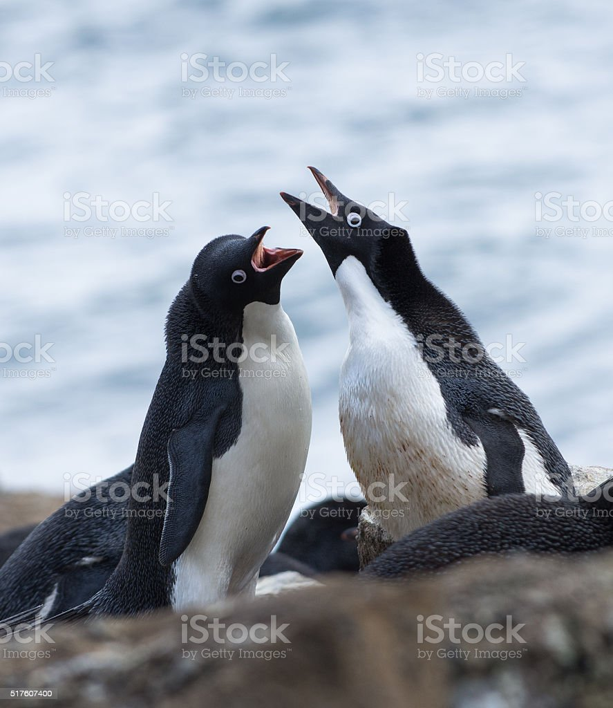 Two Adelie penguins calling to each other during courtship stock photo