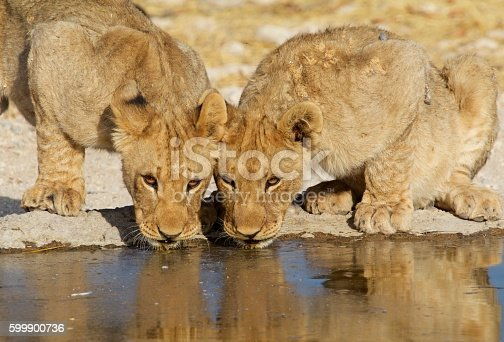 Two adolescent lion cubs drink from a waterhole with a good water reflection