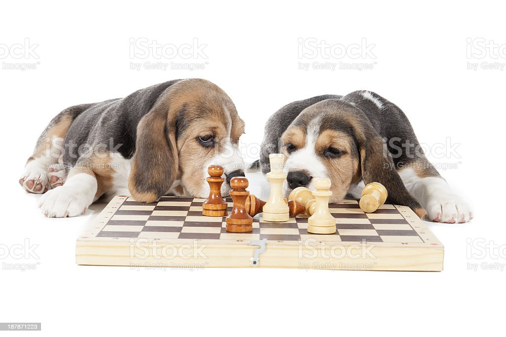 two adorable beagle puppy playing chess royalty-free stock photo