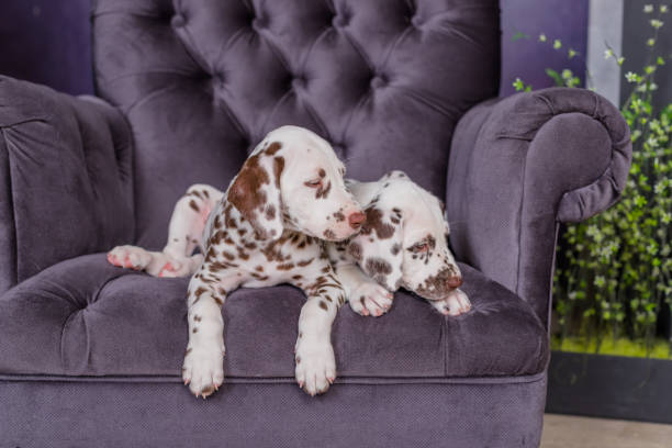 two adorable dalmatian puppies on a chair idoors stock photo
