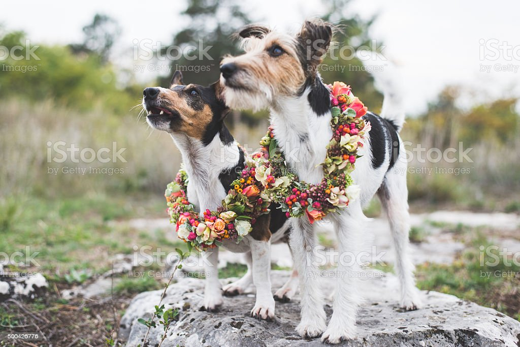 Two adorable Jack Russell Terrier posing outdoor stock photo
