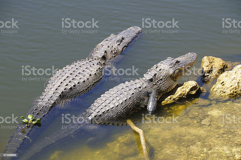 Two Adult Alligators royalty-free stock photo