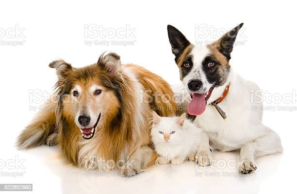Two adult dogs and tiny kitten isolated on white background picture id522852660?b=1&k=6&m=522852660&s=612x612&h=sedzkkrud7k480dtnamdcoqstzdpvpclmaitphuzffs=