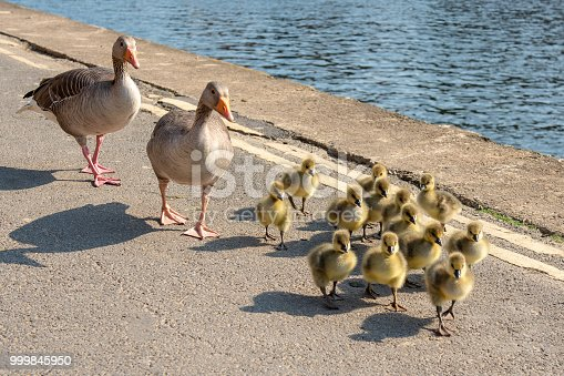 Two adult ducks escorting their thirteen ducklings on a walk along the riverside at York in England.