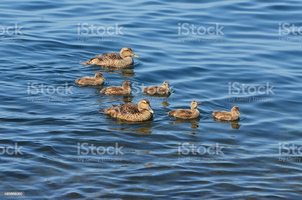 two adult eider ducks and ducklings stock photo