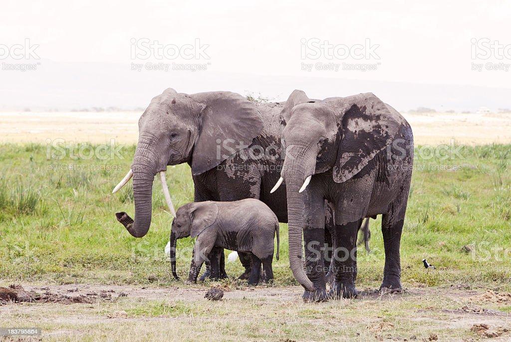 Two adult elephants with baby. Amboseli, Kenya. stock photo