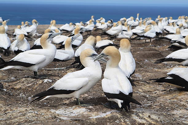 Two Adult Gannets in a Large Colony