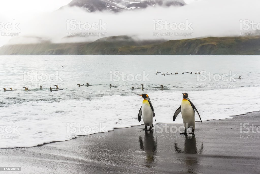 Two adult king penguins (aptenodytes patagonicus) walking along the water's edge toward the camera, at Gold Bay on South Georgia Island. stock photo