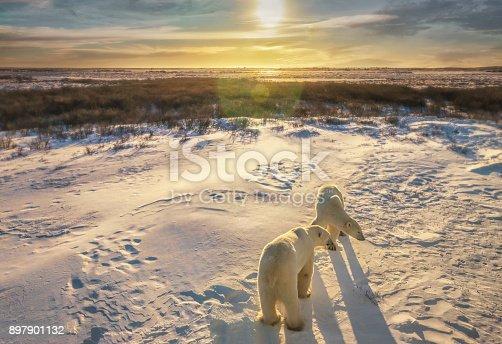 Two polar bears in golden light stand in their natural wild habitat near Hudson Bay.