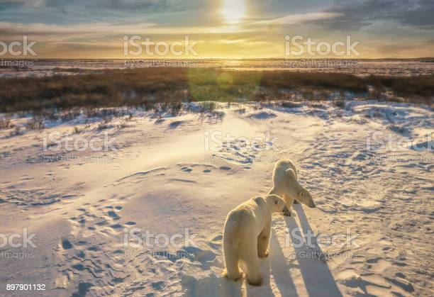 Two adult polar bears stand together in snowy arctic tundra setting picture id897901132?b=1&k=6&m=897901132&s=612x612&h=ctt4ik6yzojy7mxna514c3j1fwqdwcunbqcu6a3gcre=