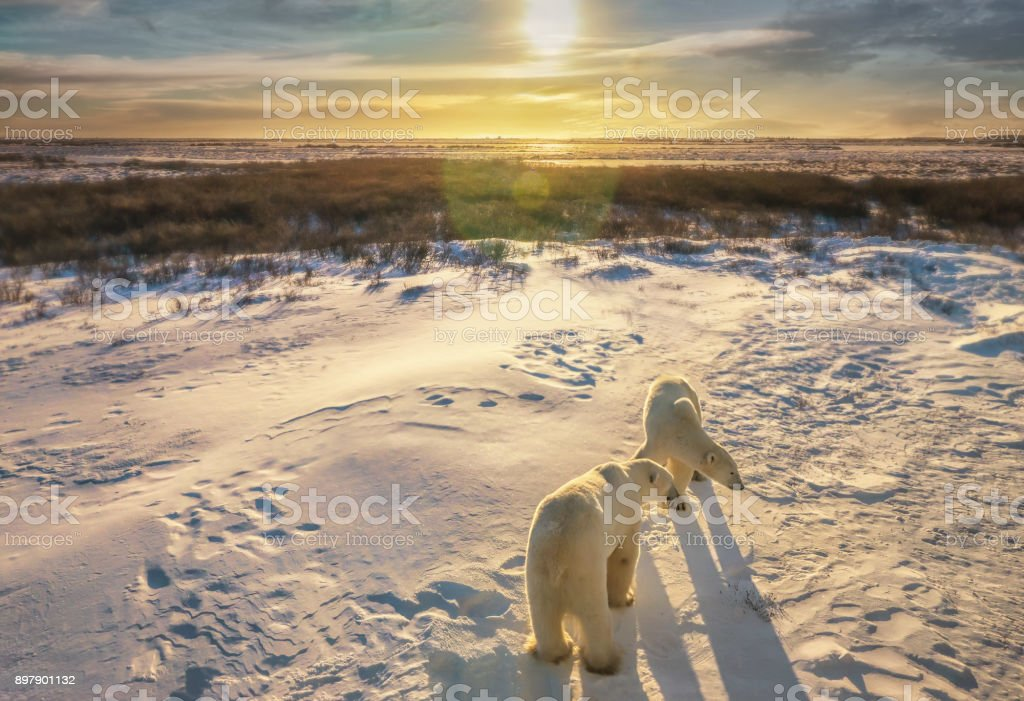 Two adult polar bears (Ursus Maritimus) stand together in snowy Arctic tundra setting as the sun rises over the northern Canadian landscape. Churchill, Manitoba. stock photo