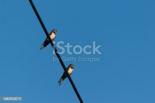 139975532istockphoto Two adult swallows sitting on electric wire with blue sky in background 1082525272