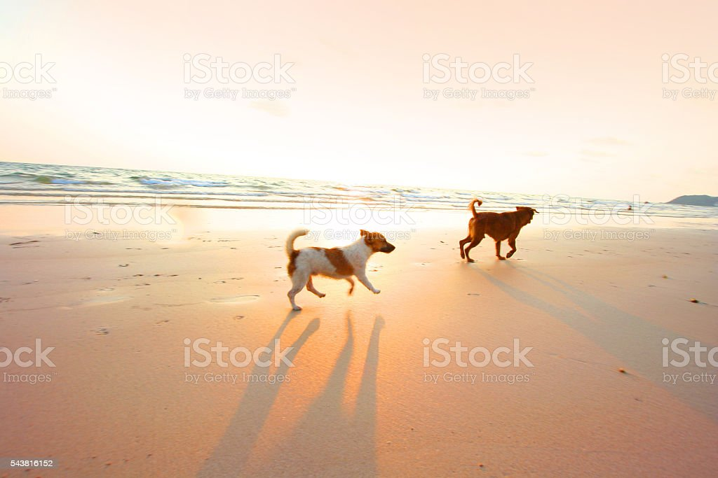 Two adventure dogs running on the beach with sunset. -- motion blur...