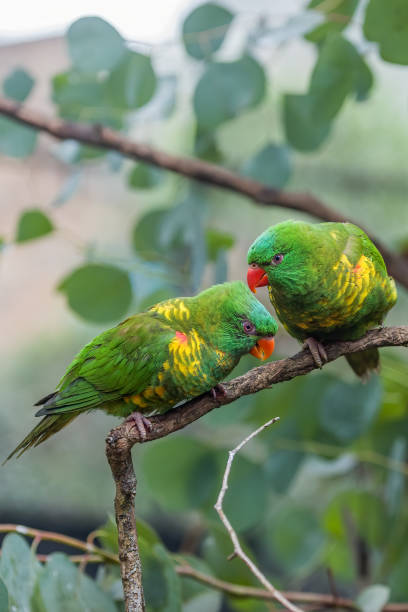 Two affectionate Scaly-Breasted Lorikeets stock photo