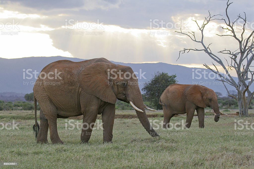 Two African Elephants at Dusk royalty-free stock photo