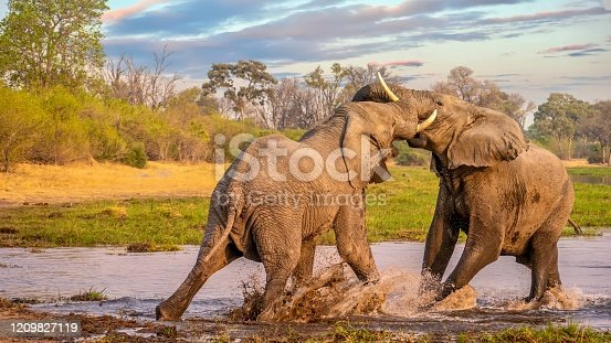Two bull elephants sparring in shallow water, looking aggressive and angry, their tusks and trunks touching each other. The grassy riverbank, trees, bushes, and a sunset sky create a beautiful landscape background.