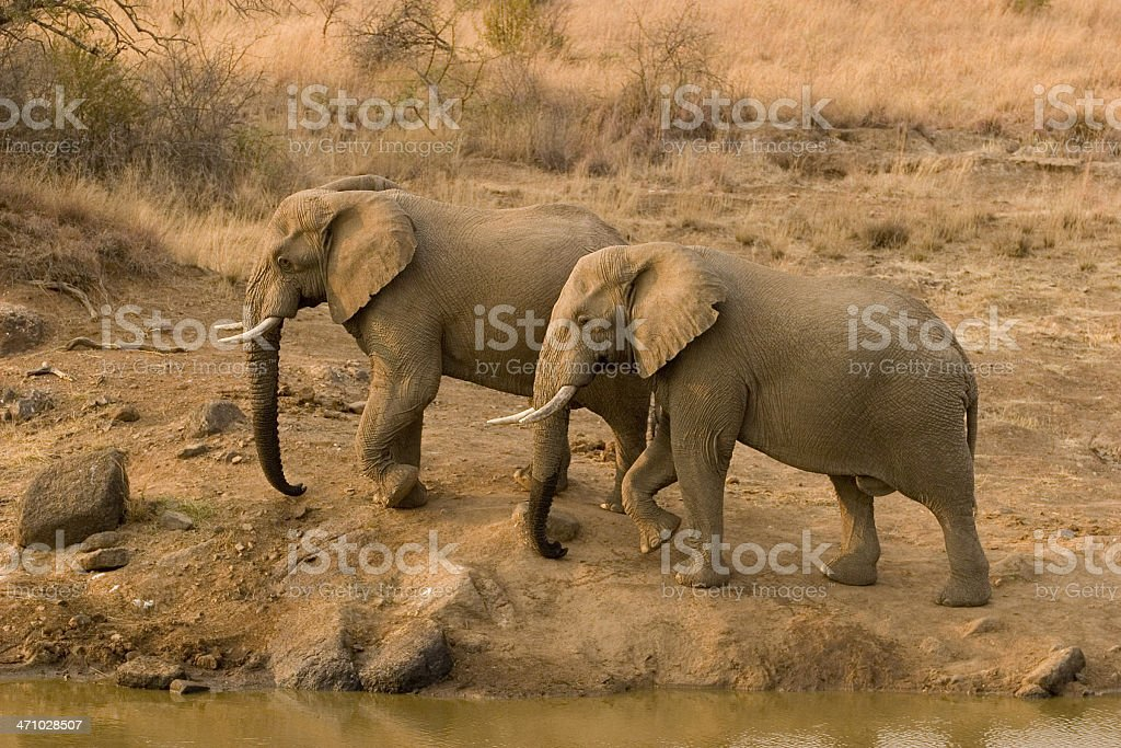 Two African Elephants royalty-free stock photo
