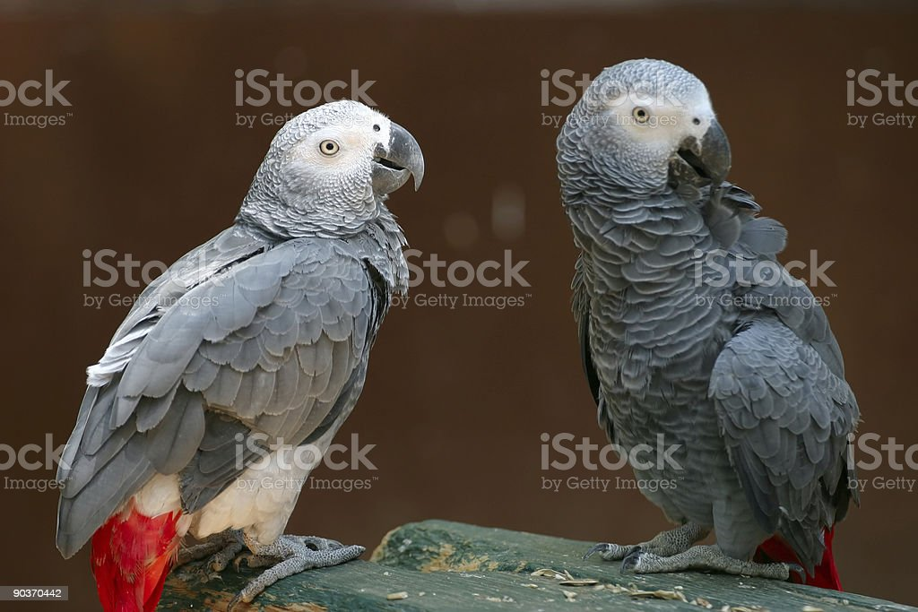 Two African Grey Parrots stock photo