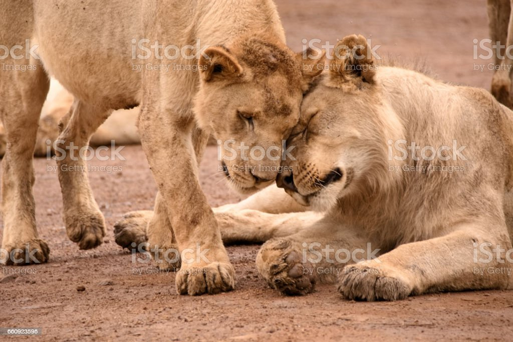 Two African lions bonding stock photo