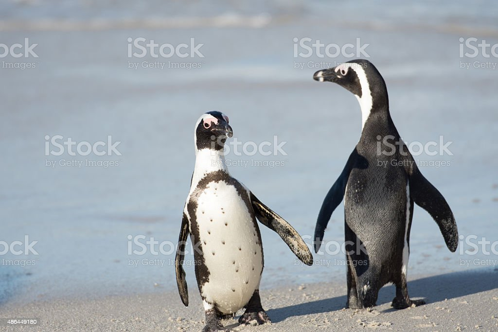 Two African penguins on the beach stock photo