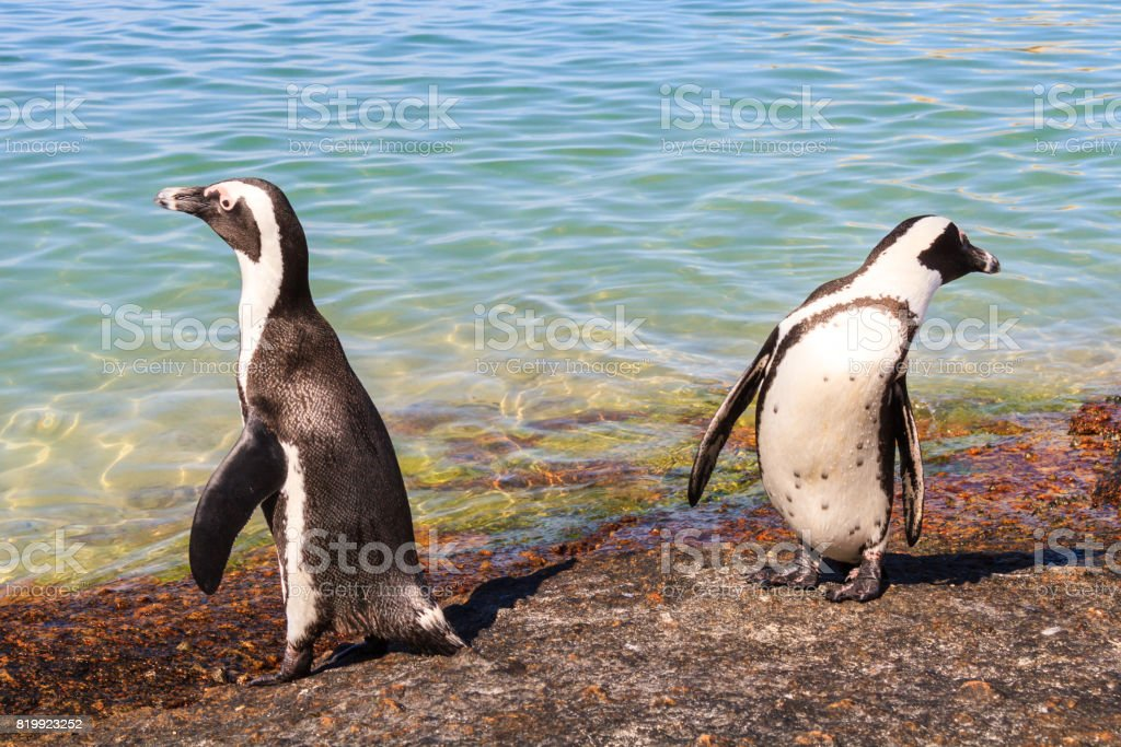 Two African Penguins stock photo