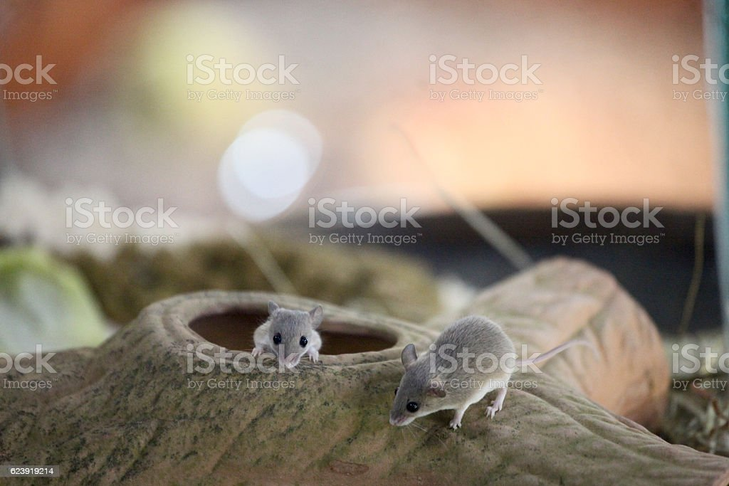 Two African Pygmy Mouse stock photo