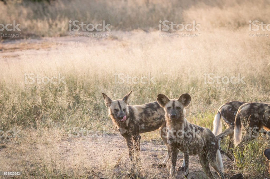 Two African wild dogs in the grass. stock photo