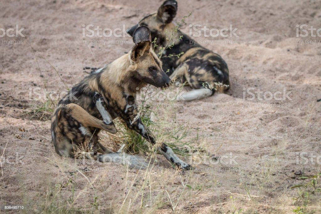 Two African wild dogs laying in the sand. stock photo