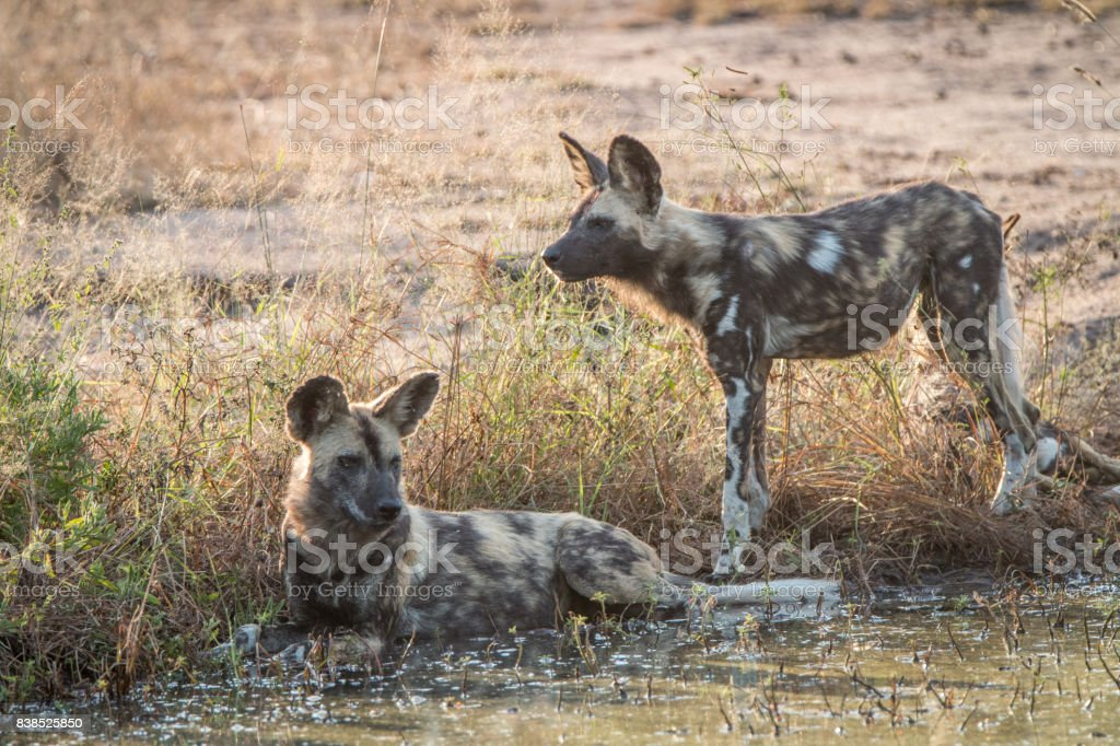 Two African wild dogs resting in the water. stock photo