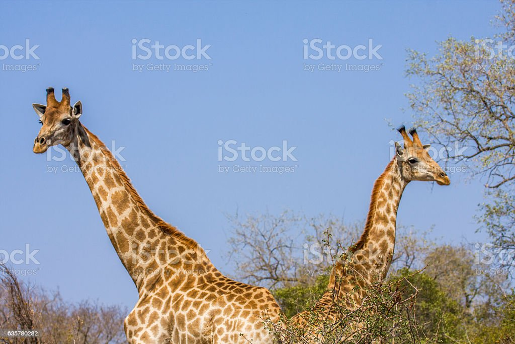 two african wild giraffes in blue background stock photo