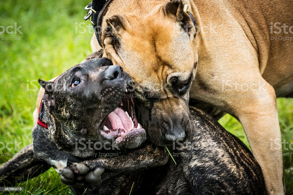 Two aggressive dogs - pitbulls are fighting Close up of two aggressive dogs are fighting. One of them is pitbull and other is Canary dog. The photo shows the a moment when an ordinary game turns into a conflict and fight. Fortunately, the owners have separated them in a few seconds and the dogs were not injured. Both dog breeds are a well put-together dogs, strong, muscular, but agile and can be aggressive toward other dogs and suspicious of strangers. 2015 Stock Photo