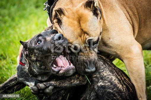 Close up of two aggressive dogs are fighting. One of them is pitbull and other is Canary dog. The photo shows the a moment when an ordinary game turns into a conflict and fight. Fortunately, the owners have separated them in a few seconds and the dogs were not injured. Both dog breeds are a well put-together dogs, strong, muscular, but agile and can be aggressive toward other dogs and suspicious of strangers.