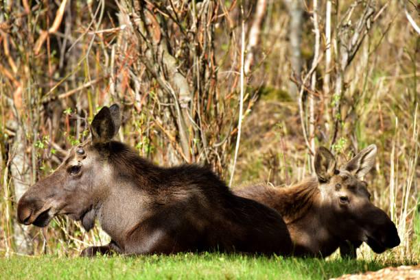 Two Alaska moose (Alces alces gigas) stock photo