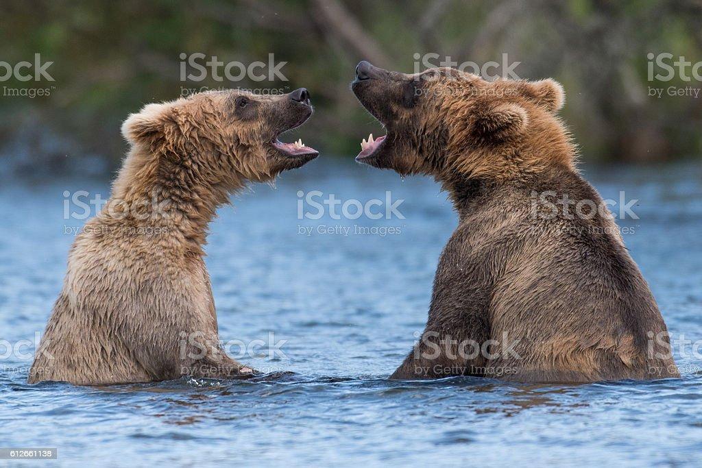 Two Alaskan brown bears playing stock photo