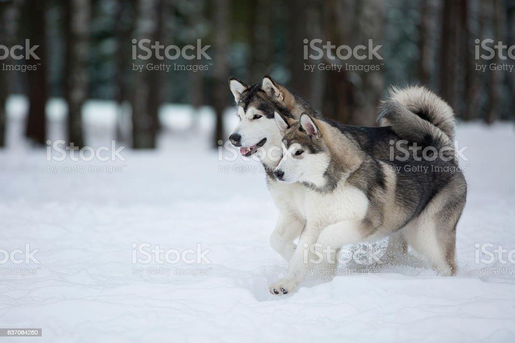 two Alaskan Malamute in the Park stock photo