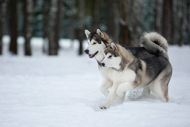 two Alaskan Malamute in the Park two Alaskan Malamute in the Park working animal stock pictures, royalty-free photos & images