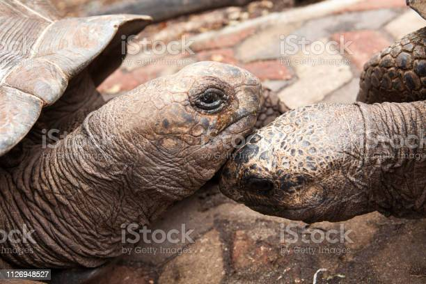 Two aldabra giant tortoises picture id1126948527?b=1&k=6&m=1126948527&s=612x612&h=d1lruapaz5ght0fvi8hgzumtgah1a4ppkb1urvjxcwy=