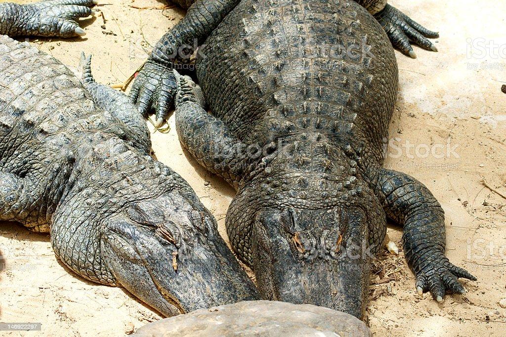 two alligators sunbathing on sand royalty-free stock photo