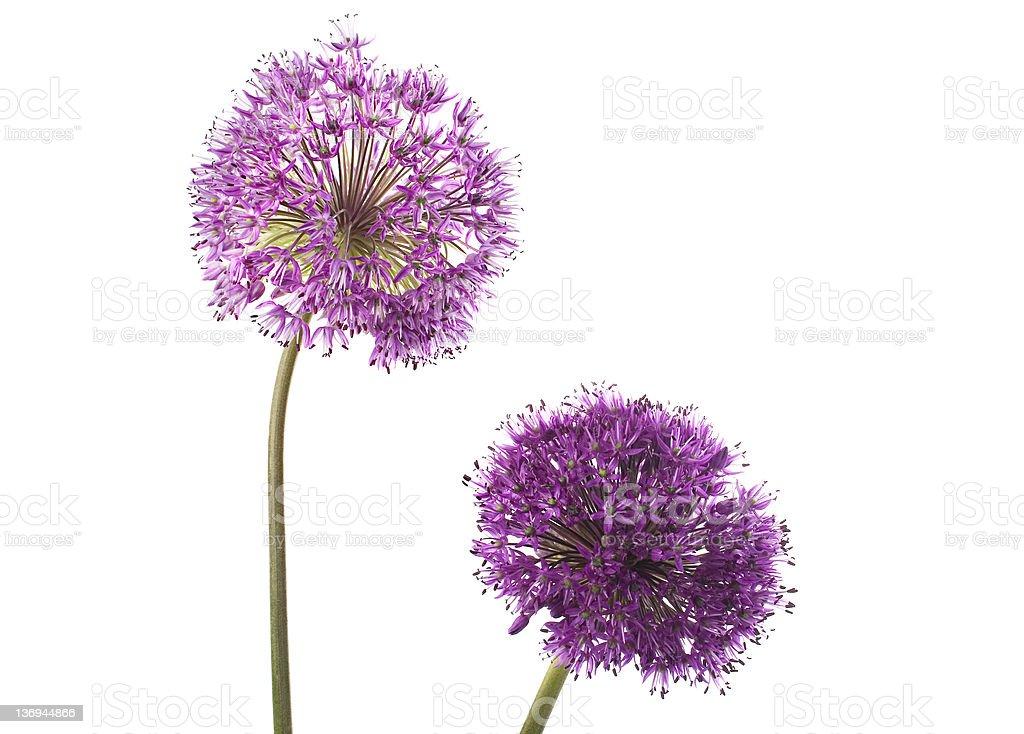 Two Allium Flowers stock photo