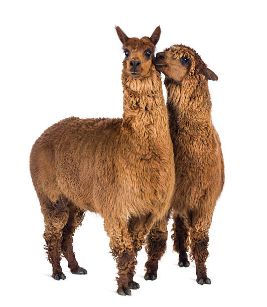 Two alpaca whispering to each other stock photo