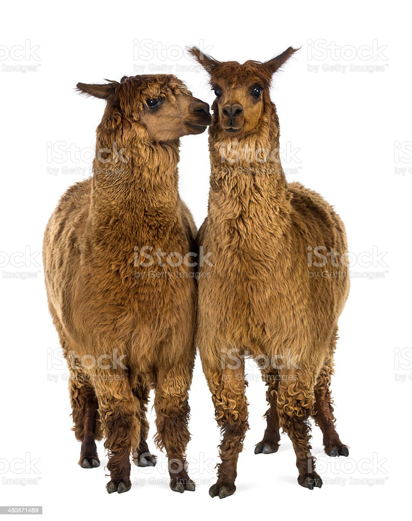 Two Alpacas, one is smiling and the other stock photo