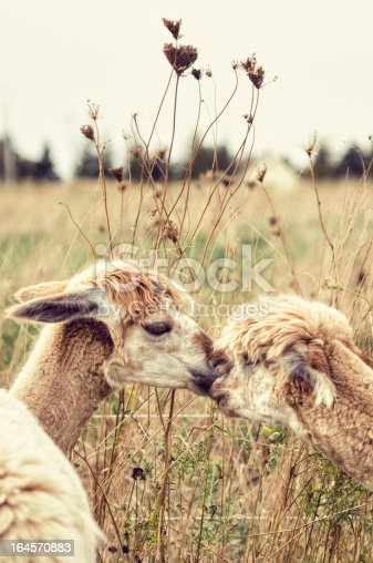 Two Alpacas nuzzle in a country pasture. Toned Image.