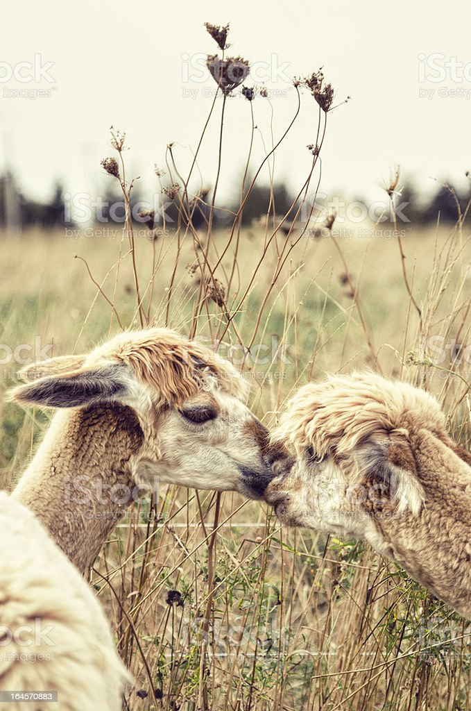 Two Alpacas stock photo