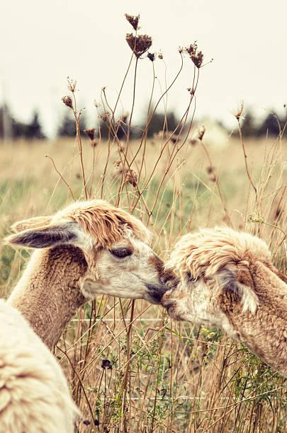 dos alpacas - alpaca fotografías e imágenes de stock