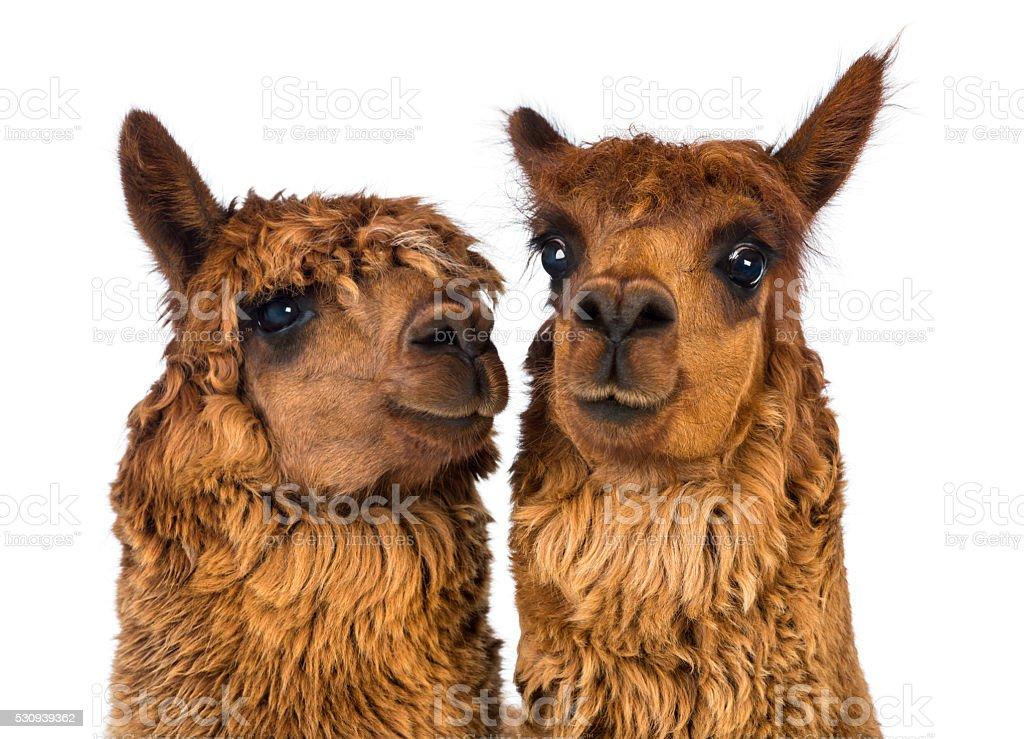 two Alpacas stock photo