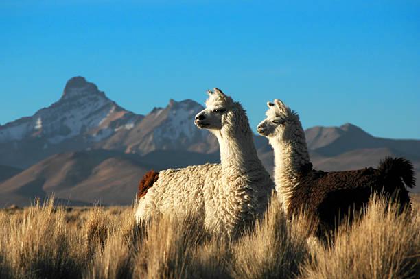 zwei alpakas - lama kamelartige stock-fotos und bilder