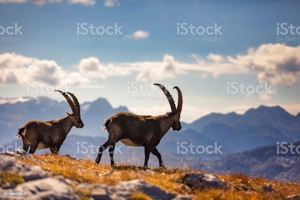 Two Alpine Ibex are walking in front of Funtenseetauern , Alps stock photo
