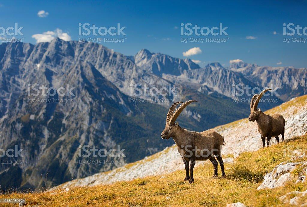 Two Alpine Ibex in front of Mount Watzmann , Alps stock photo