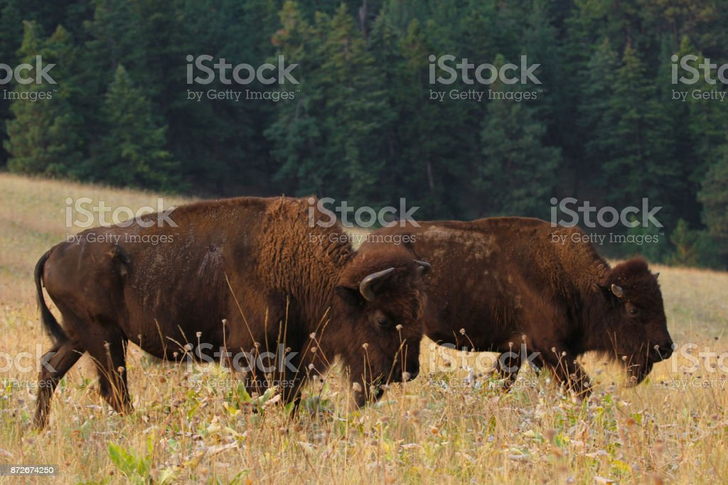 Two American bison on grassy plains stock photo